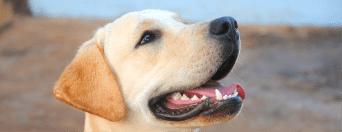Consecuencias de no cuidar la salud dental de nuestros perros